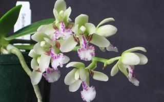 Описание и выращивание Седиреи Японика