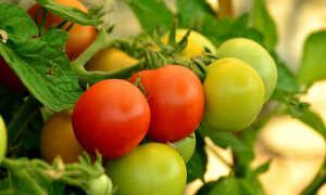 Томат июньский: описание сорта, характеристика, выращивание, отзывы, фото