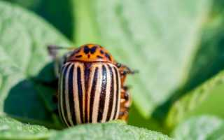 Эффективные способы борьбы с колорадским жуком на картофеле