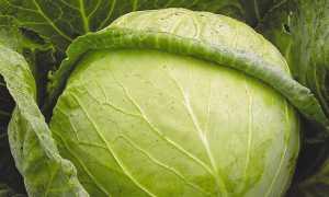 Лучшие сорта капусты для заквашивания и маринования, зимнего хранения: с описанием, характеристикой и отзывами, в том числе для выращивания в Сибири