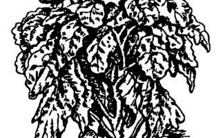 Характеристика кормовой капусты