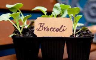 Посадка брокколи на рассаду
