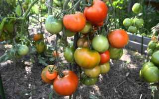 Характеристики томата Дубрава