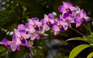 Правила выращивания орхидеи из Азии