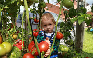 Показатели урожайности томата с одного куста