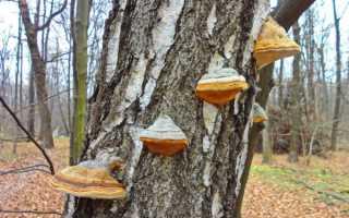 Описание грибов, растущих на деревьях