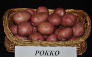 Описание картофеля Рокко