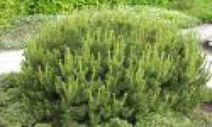 Горная сосна Pumilio: Описание с фотографиями, воспроизводством, трансплантацией, недвижимостью по уходу, использование в ландшафтной архитектуре и садовых советах