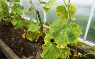 Причины бледности листьев у огурцов