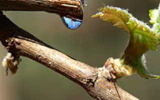 По каким причинам весной плачет виноград