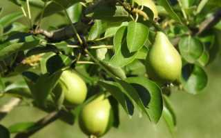 Сорта груш для выращивания в средней полосе России
