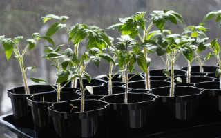 Как проводить закаливание рассады помидоров