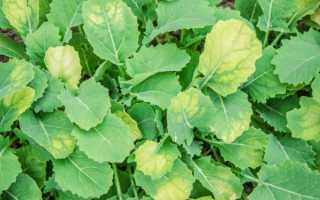 По какой причине желтеет рассада капусты