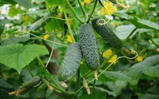 Характеристика сорта огурца Меренга