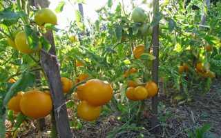 Помидор Сладкий Пончик: сорт, характеристика и описание, отзывы, урожайность, фото
