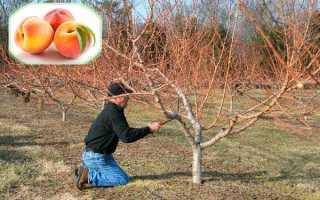 Уход за персиками осенью после плодоношения (после уборки), лечение по уходу, кормление и подготовка к зиме
