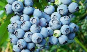 Черника Черника: отзывы, фото, описание сорта ягод, урожайность, выращивание, посадка и уход