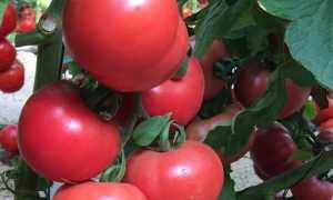 """Сорт томата """"Розовая Катя f1"""": описание, отзывы, фото, урожайность"""