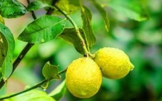 Причины пожелтения листвы лимона
