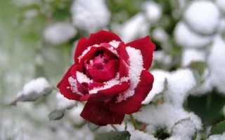 Зимостойкие сорта чайно-гибридных роз
