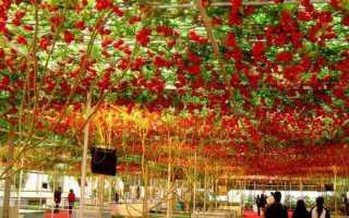 Томатное дерево: выращивание в поле, в домашних условиях, фото, отзывы