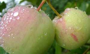Крошечная яблоня: описание, фото, отзывы
