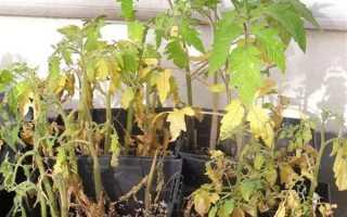 Причины гибели рассады помидоров