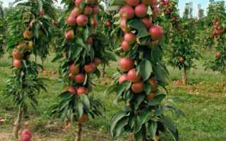 Колоновидные яблони: типы, обрезка и уход