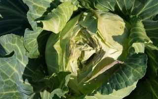 Почему трескается капуста