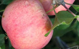 Яблоня Соковое-3: отзывы садоводов и описание сорта с фото