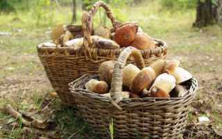 Какие грибы можно собирать на юге Подмосковья