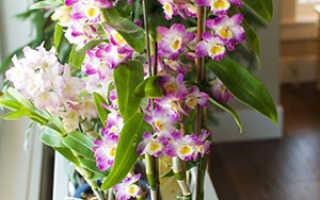 Правила выращивания орхидеи Дендробиум