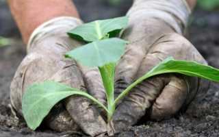 Что необходимо класть в лунку при посадке капусты