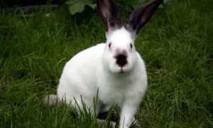 Русский горностайный кролик: описание породы, рацион, особенности содержания и разведения