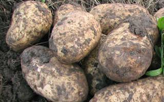 Характеристика сорта картофеля Голубизна