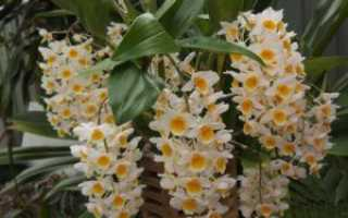 Уход за орхидеей Дендробиум Нобиле после цветения