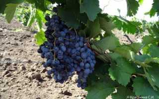 Виноград Саперави: описание и характеристика сорта, особенности ухода и фото