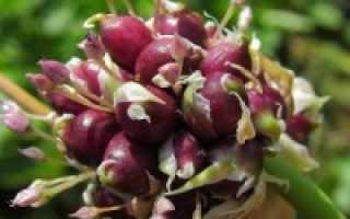 Правила выращивания чеснока из бульбочек