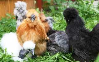 Китайские шелковистые куры (30 фото): описание породы с шелковистыми перьями, разведение аборигенных петухов, разведение цыплят на мясо