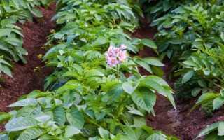 Технология возделывания картошки и ее особенности
