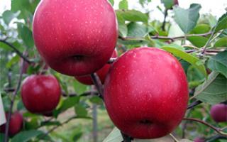 Яблоня сорта Вишневое