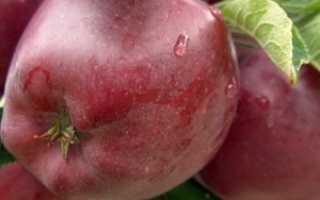 Сорт яблок Ред Чиф