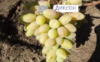Характеристика винограда Диксон