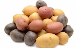 Популярные сорта картофеля, которые не ест колорадский жук