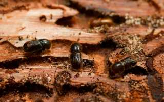 Борьба с вредителями, жук-короед