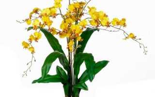 Выращивание орхидеи онцидиум