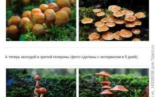Какие двойники есть у белого гриба