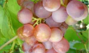 Русский ранний виноград: описание сорта и характеристика, особенности ухода и фото