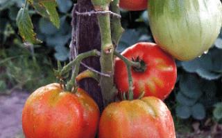 Португальский помидор дакоста: фото и отзывы тех, кто пробовал его выращивать, достоинства и недостатки сорта