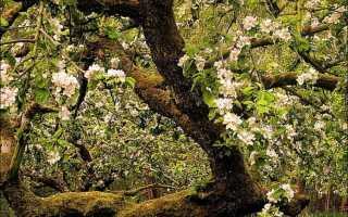 Черный рак на плодовых деревьях